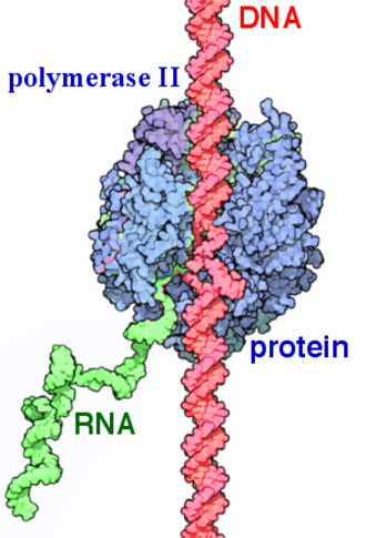 RNA polymerase II - Function of RNA Polymerase II (transcription). Newly synthesized RNA strand by enzyme(green).