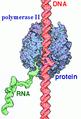 Label RNA pol II.png