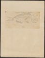 Labeo sparoides - 1700-1880 - Print - Iconographia Zoologica - Special Collections University of Amsterdam - UBA01 IZ13100305.tif