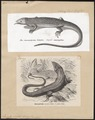 Lacerta viridis - 1700-1880 - Print - Iconographia Zoologica - Special Collections University of Amsterdam - UBA01 IZ12400063.tif