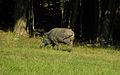 Lainzer Tiergarten - Wildschwein.jpg