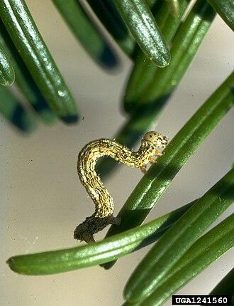 Lambdina fiscellaria - Image: Lambdina fiscellaria lugubrosa larva