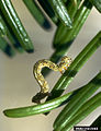 Lambdina fiscellaria lugubrosa larva.jpg