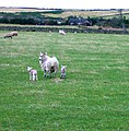 Lambs in a field near Hopton Farm - geograph.org.uk - 665655.jpg