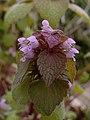 Lamium purpureum, 2020-05-05, Beechview, 01.jpg