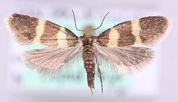 Lampronia redimitella