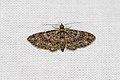 Larentiinae sp. (35363372065).jpg
