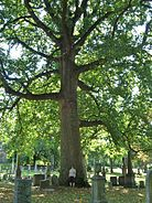 Largest Tulip Tree at Green-Wood Cemetery, Brooklyn, NY - September 19, 2015