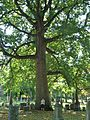 Largest Tulip Tree at Green-Wood Cemetery, Brooklyn, NY - September 19, 2015.jpg