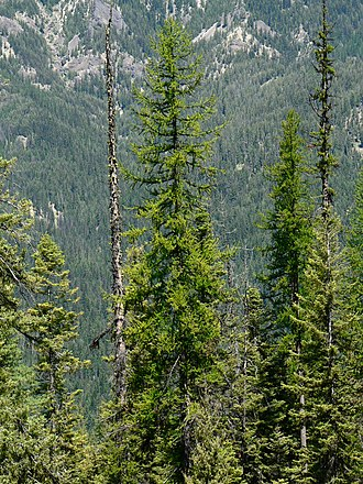 Larix occidentalis - William O. Douglas Wilderness