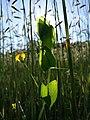 Lathyrus aphaca sl56.jpg