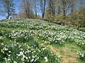 Laurel Ridge Foundation Narcissus Plantings - IMG 6423.JPG