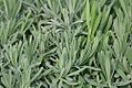 Lavandula intermedia Provence 0zz.jpg