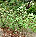 Lavatera assurgentiflora 1.jpg