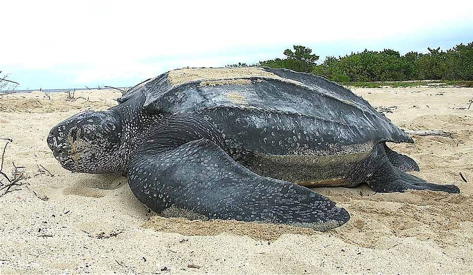 Leatherback sea turtle Tinglar, USVI (5839996547)