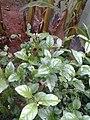 Leaves and trees palavangudi jpg 02.jpg