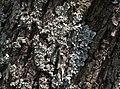 Legno con licheni-DSCF9220.jpg