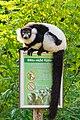 Lemur (26245138149).jpg