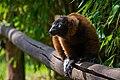 Lemur (36614945705).jpg