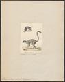 Lemur collaris - 1829-1867 - Print - Iconographia Zoologica - Special Collections University of Amsterdam - UBA01 IZ19700049.tif