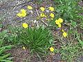 Leontodon saxatilis plant1 (14632823215).jpg