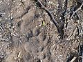Leopard pug Moyar AJTJ P1010699.jpg