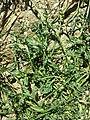 Lepidium squamatum sl58.jpg