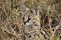 Leptailurus serval (portrait).jpg