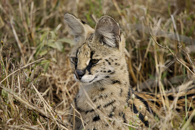 File:Leptailurus serval (portrait).jpg