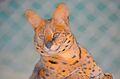 Leptailurus serval at Giza Zoo by Hatem Moushir 1.JPG