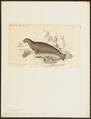 Leptonyx leopardinus - 1700-1880 - Print - Iconographia Zoologica - Special Collections University of Amsterdam - UBA01 IZ21100159.tif