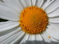 Leucanthemum vulgare close-up.JPG