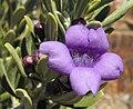 Leucophyllumrevolutum2.jpg