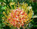 Leucospermum cordifolium Veldt Fire 2.jpg