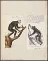 Lichanotus indri - 1700-1880 - Print - Iconographia Zoologica - Special Collections University of Amsterdam - UBA01 IZ19700167.tif