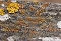 Lichen (28018845297).jpg