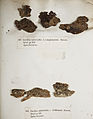 Lichenes Helvetici IX X 1833 006.jpg