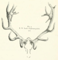 Life Histories of Northern Mammals (1909) Eighteen point Cervus canadensis.png