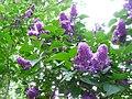 Lilac 001.JPG