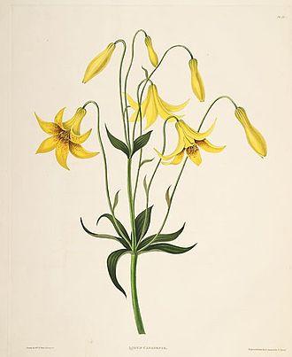 Lilium canadense - Canada lily