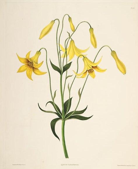 Lilium canadense (lit)