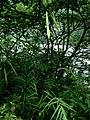 Lilium formosanum var. formosanum (2).jpg