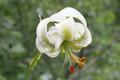Lilium ledebourii.jpg