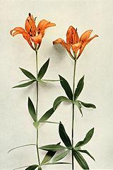 Lilium philadelphicum WFNY-013.jpg