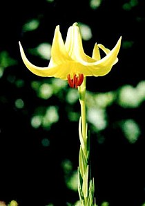 Lilium rhodopeum2.jpg