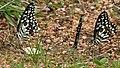 Lime Butterfly (Papilio demoleus) mud-puddling W3 IMG 0233.jpg