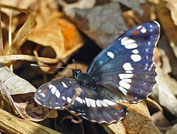 meaning of limenitis