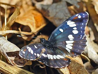 Limenitis - Southern white admiral (L. reducta)
