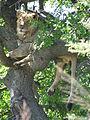 Lion in tree.JPG