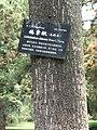Liriodendron chinense - Kunming Botanical Garden - DSC02950.JPG